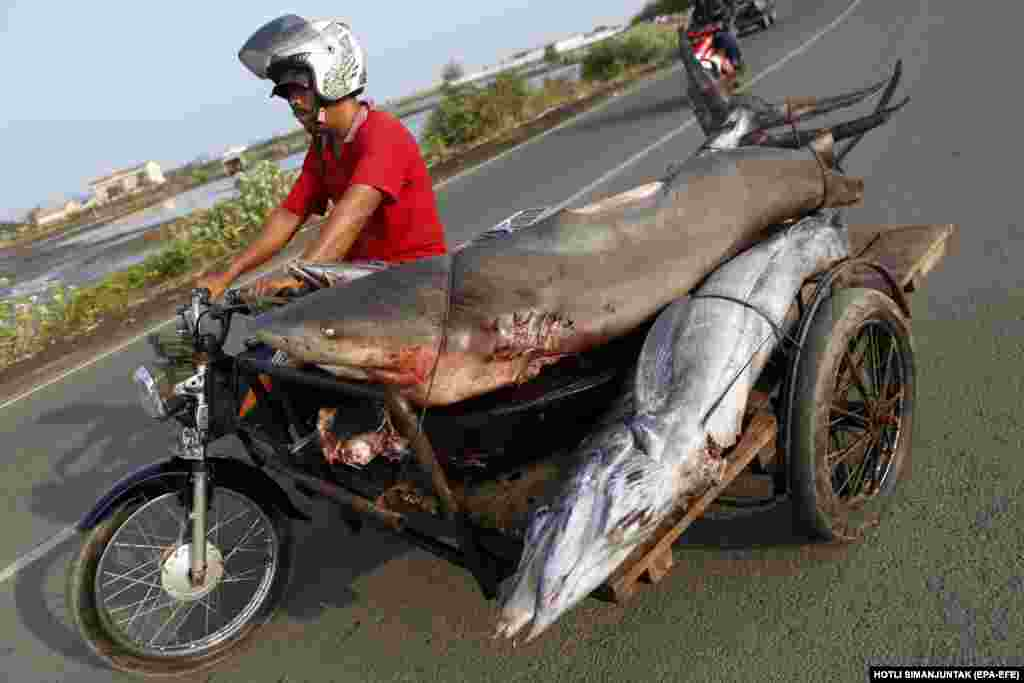 A fisherman transports a shark and other fish to the traditional fish market in Lampulo, Aceh, Indonesia. (epa-EFE/Hotli Simanjuntak)