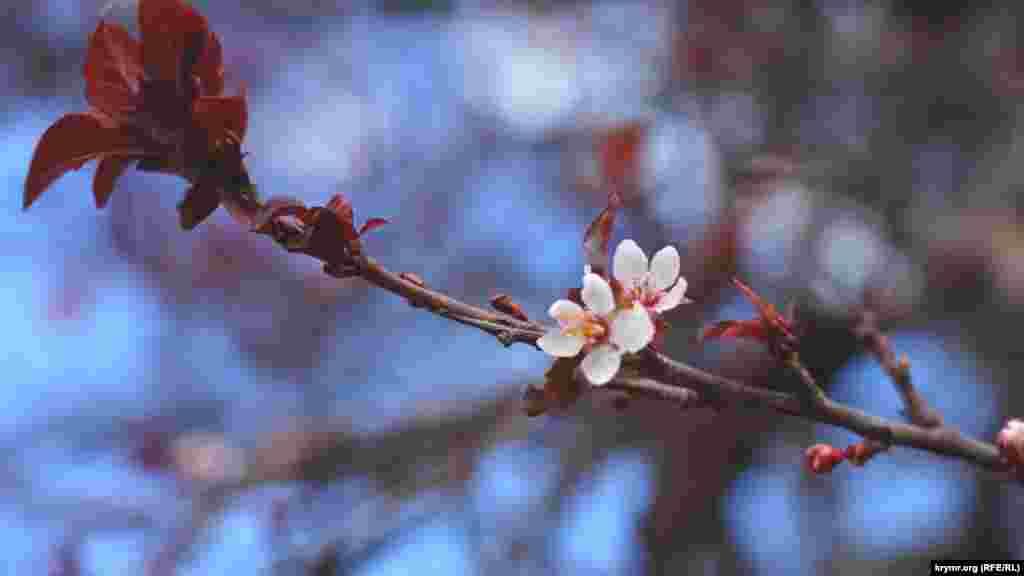 Осеннее цветение сливолистной яблони