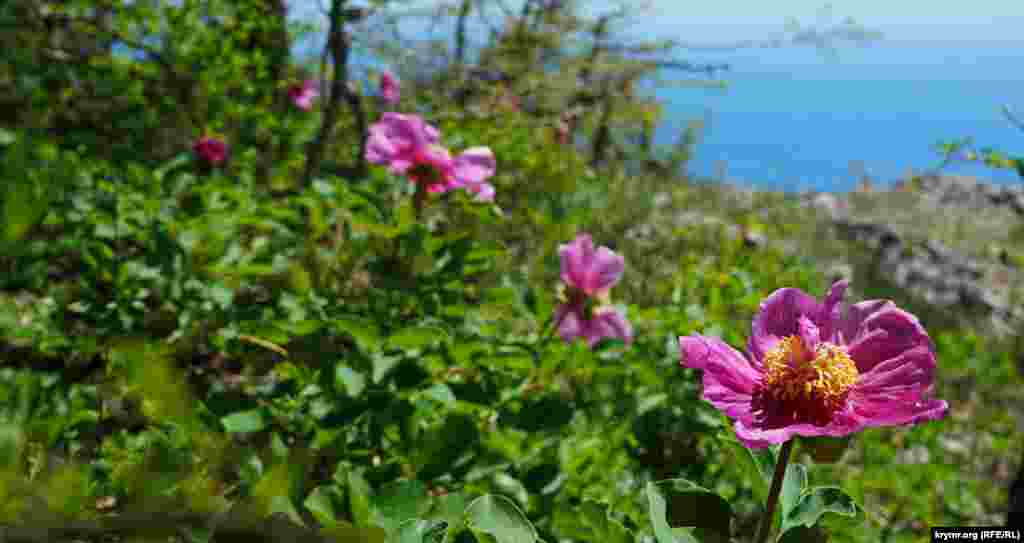 Начало мая – время цветения в горах Айя Пиона крымского (Paeonia daurica).