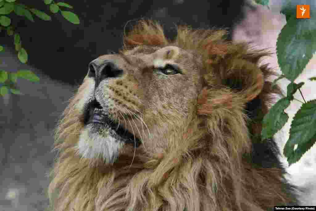 هیرمان، شیر نر ایرانی که از باغوحش بریستول به باغوحش ارم در تهران منتقل شد. نام نخست هیرمان در بریتانیا «کامران» انتخاب شده بود. بنابراعلام باغوحش ارم، این نام با رای مردم به «هیرمان» تغییر یافت.