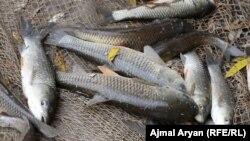 فارم پرورش ماهی در ولایت کندز