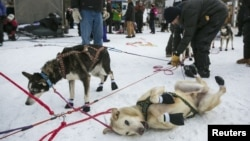 Scenes from a previous Iditarod dog sled race in Alaska.