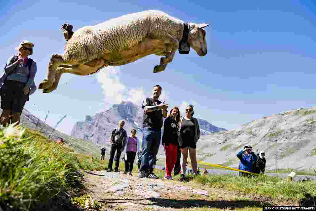 About 700 sheep were gathered for the annual shepherds' festival near the Gemmi Pass, between Kandersteg and Leukerbad in Switzerland. During the festival, shepherds and farmers meet, watched by spectators who witness sheep running down steep cliffs to Lake Dauben. (EPA-EFE/Jean-Christophe Bott)