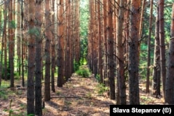 "A ground-level view of the ""Lenin"" forest. Stepanov says, ""From the ground it was like a walk through an ordinary forest, but one planted by man. All of the trees are planted in a straight line."""