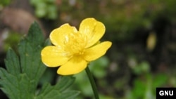 "Лютик. (Ranunculus repens) <a href = ""http://en.wikipedia.org/wiki/Image:Creeping_butercup_close_800.jpg"" target=_blank>Wikipedia. GNU Free Documentation</a>."
