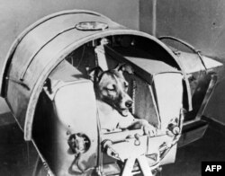 A picture from the Soviet daily Pravda dated November 13, 1957, shows Laika, the first living creature sent into space, aboard Sputnik II. Laika died a few hours after launch from stress and overheating.