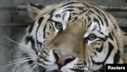 Artyom, a 3-year-old Amur tiger, looks out of his enclosure at a zoo in the Russian city of Rostov na Donu.
