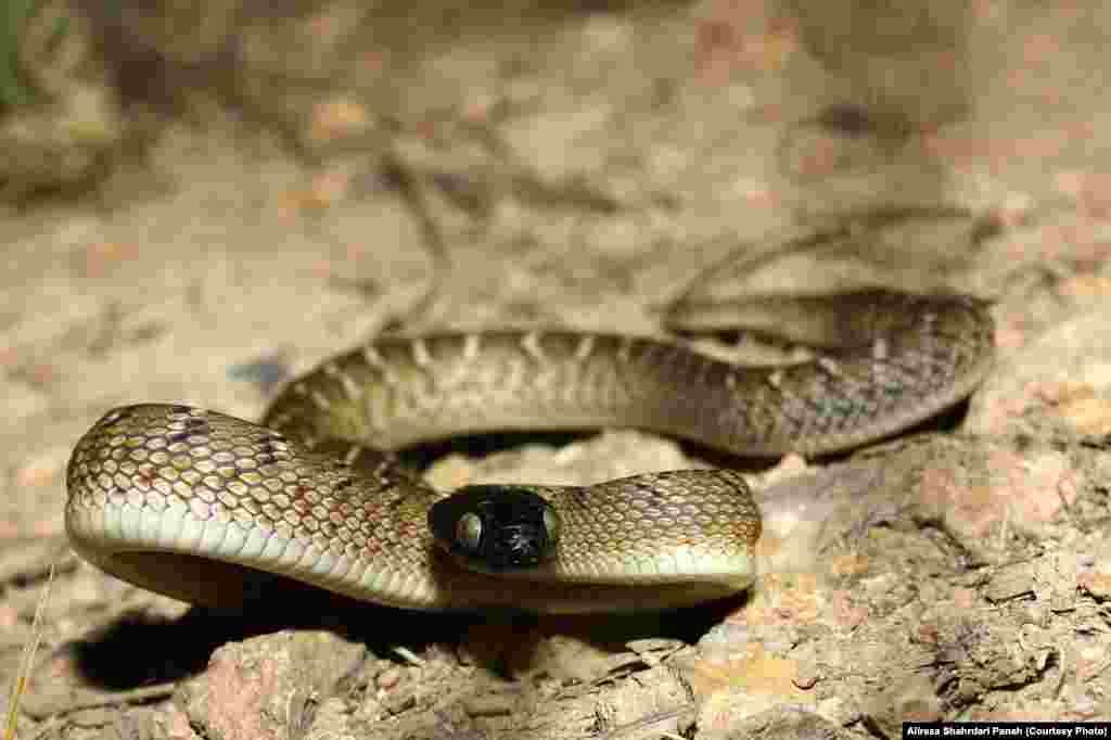 نام علمی: Boiga trigonatum، نام فارسی: مار آلوسر، نام انگليسی: Indian Gamma Snake، اندازه: طول کل ۱۰۵سانتیمتر، زيستگاه: بيابان ها، و گاهی در شن های نرم، پراکندگی در ايران: استان های سيستان و بلوچستان، خراسان رضوی، خراسان شمالی، خراسان جنوبی، سمنان، کرمان و هرمزگان، این مار نیمه سمی است
