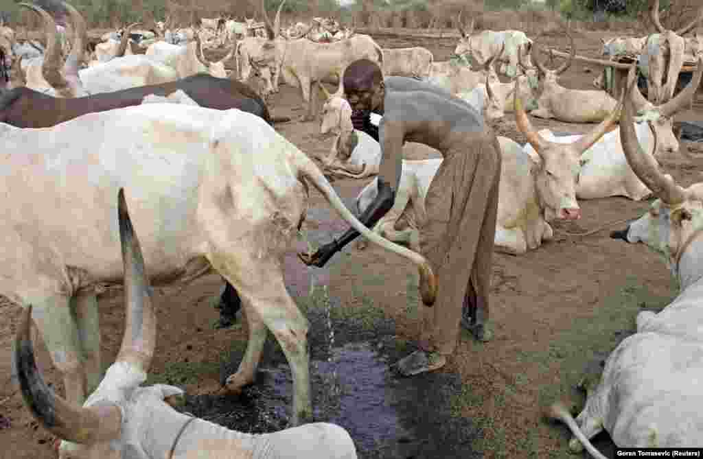 A cattle herder washes himself with cow urine in South Sudan in January 2011. Many of Tomasevic's 14,000 images in Reuters' archive are related to travel and daily life, but the Belgrade-born photographer's most iconic work deals with capturing conflict.