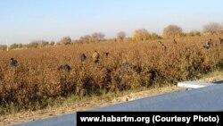 Хлопковое поле в Мары (архивное фото)