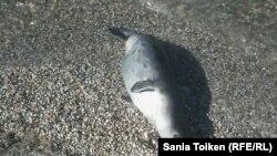 Каспийского тюленя уничтожают браконьеры и ухудшающаяся экология