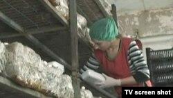 Proizvodnja gljiva u Bio-ŠampTešanj