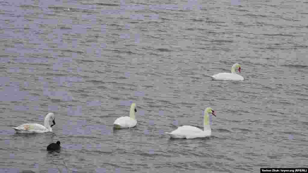 Неподалік від берега плавають білі лебеді