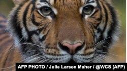 Тигрица по имени Nadia, находящаяся в зоопарке Бронкса (Нью-Йорк, США). Фото из пресс-релиза зоопарка.