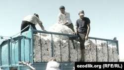 Сбор хлопка в Узбекистане.