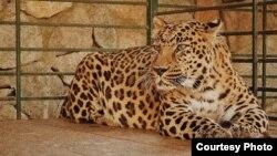 Леопард в осетинском зоопарке, архивное фото