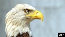 Белоголовый орел. Он видит мир в более широком цветом диапазоне, чем человек