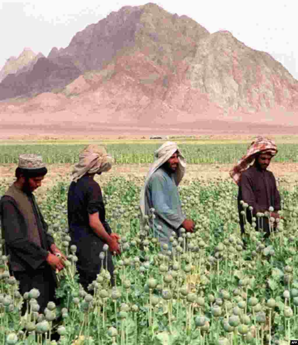Afghans harvesting opium poppies in Kandahar Province (AFP) - Warlords across the country are using drug money to build up their power. The government is trying to eradicate poppy production, but most of the drugs come the south where the government's control is most nominal. Five years later, there is a danger, the UN warns, that Afghanistan will become a narco-state. Heroin production is feeding corruption, instability, and a growing number of Afghan addicts.
