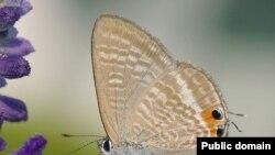 Голубянка Lampides boeticus