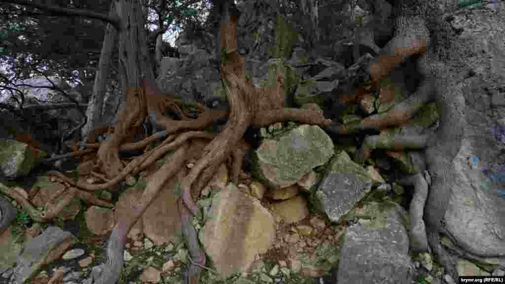 Оголене кореневище ялівцю біля Сонячної стежки
