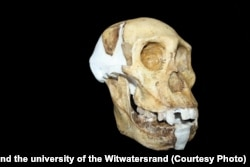 Череп Australopithecus sediba. Фото: Lee Berger and the university of the Witwatersrand