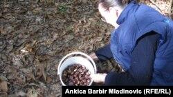 Sakupljanje kestena u jednoj od šuma u Hrvatskoj