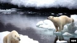 Противники теории алармизма считают, что за судьбу белых медведей пока можно не переживать.
