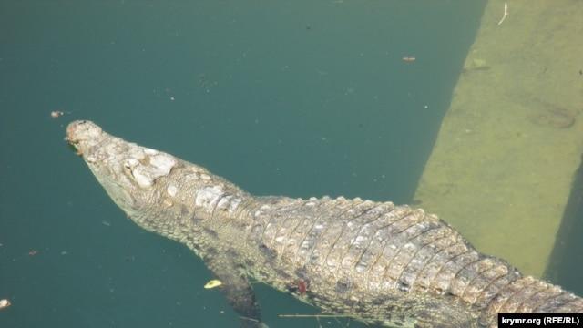 """В """"Тайгане"""" львы съели крокодила фото"""