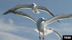 Подмосковные чайки: из Турции с птичьим гриппом