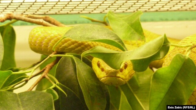This white-lipped island pit viper is one of the 25 snakes donated to the Zagreb Zoo after the death of the Serbian chef who owned them.