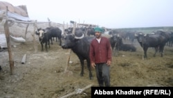 A buffalo breeder with his herd in the Al-Himar marshes near Nasiriyah in 2013.
