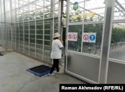 Сотрудница теплицы «BRB АРК» проходит через автоматические двери к овощным культурам. Алматы, 10 марта 2017 года.