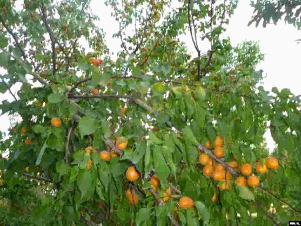 Абрикосовый рай в Баткене #6