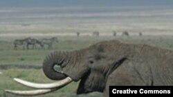 "Cлоны в танзанийских национальных парках находятся под постоянной охраной. <a href = ""http://en.wikipedia.org/wiki/Image:Tanzanian_Elephant.jpg"" target=_blank> Wikipedia. Creative Commons.</a>"