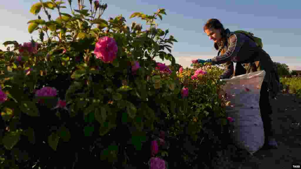В окрестностях села Тургеневка Бахчисарайского района Крыма расстилается розовое поле площадью более 20 гектаров. Здесь в начале июня начали сбор урожая эфиромасличной розы
