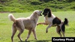 Пастушьи породы собак в Таджикистане