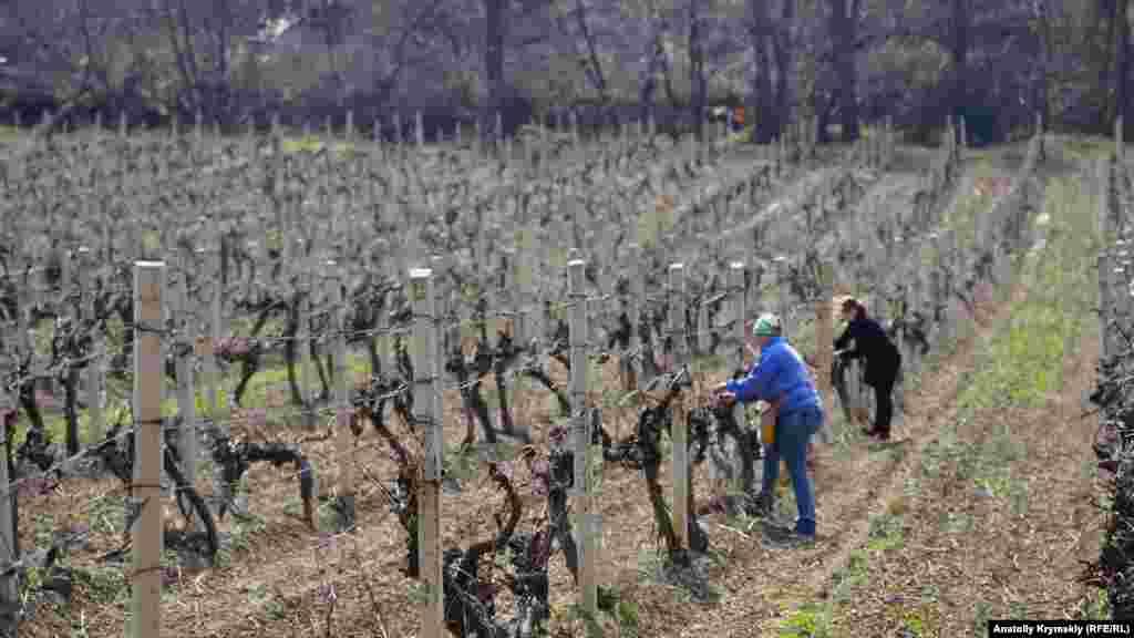 На широкому лівому березі річки розкинулися виноградники місцевого виноробного підприємства «Алушта», що входить в об'єднання «Масандра». Підв'язку лози технічного сорту «Сапераві» проводять працівниці «Алушти»: Світлана (ближче) та її дочка Діана