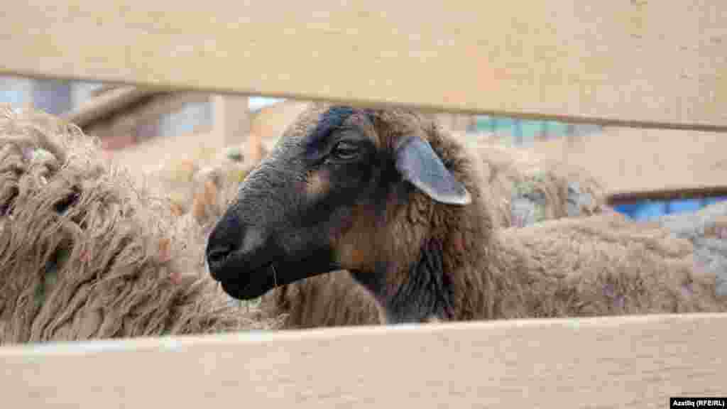 Овцы для жертвоприношения в Казани