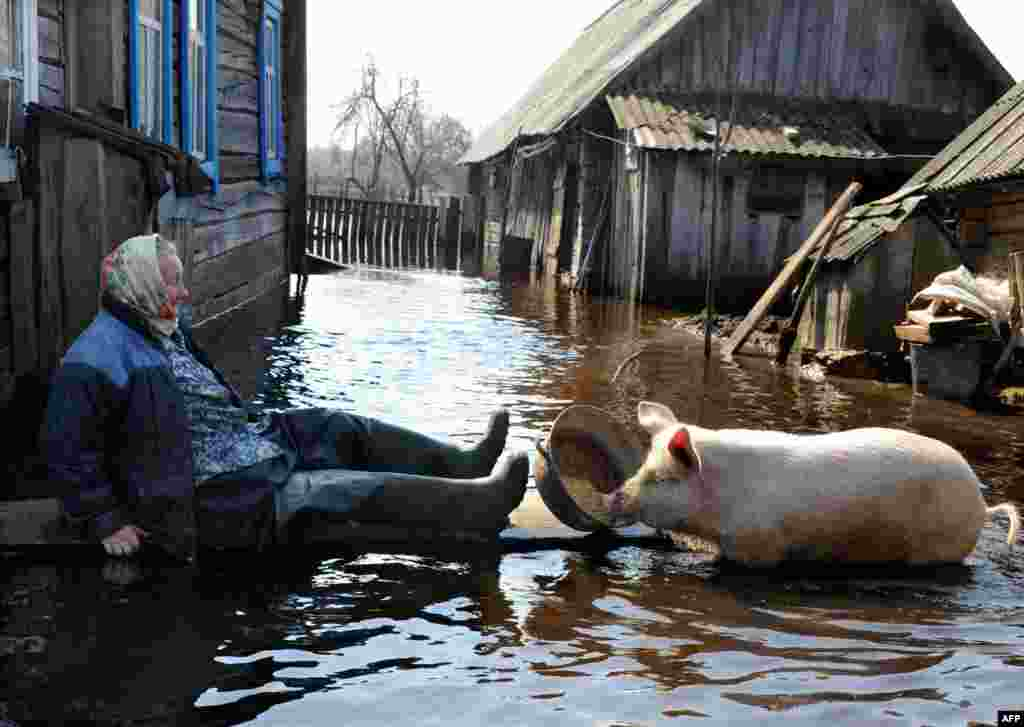 A woman feeds a pig in her yard during spring flood in the Belarusian village of Snyadin near Pripyat. (AFP/Viktor Drachev)
