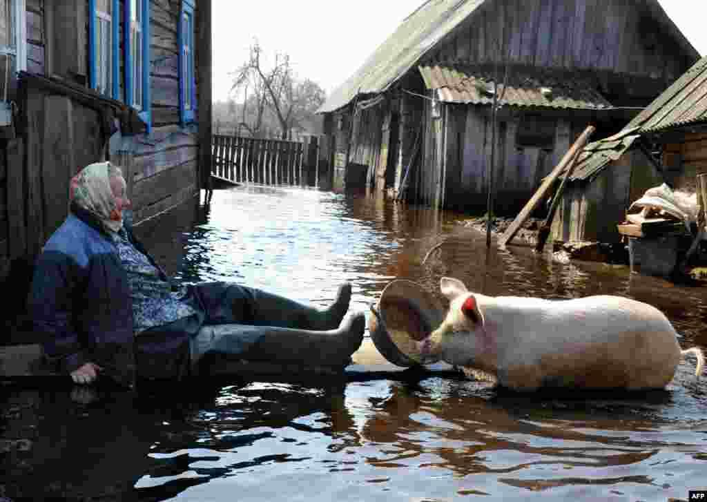 A woman feeds a pig in her yard during spring flood in the Belarusian village of Snyadin near Pripyat. (AFP/Viktor Drachev)