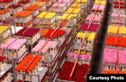 Палічыць 77 тысяч ружаў за тры гадзіны зусім не складана
