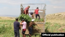 Заготовленную в Таласской области коноплю готовят к уничтожению. Фото Государственной службы по контролю наркотиков Кыргызстана.
