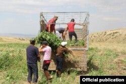 Уничтожение конопли в Таласской области Кыргызстана. 19 июля 2013 года.