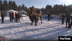 Жертвенный верблюд в Ангарске