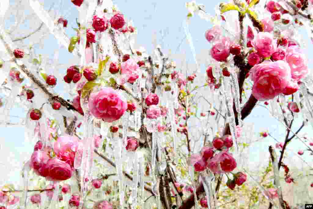 Ice hangs on flowers in a garden in Hami, northwest China's Xinjiang Uygur Autonomous Region, following a cold snap. (AFP)