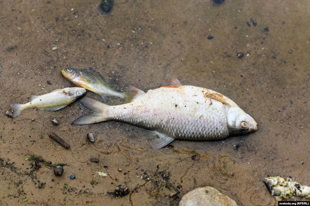 Через несколько дней после начала мора берега усеяны дохлыми рыбами. Возле деревни Жиличи на Немане, за 20 километров от Гродно