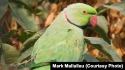 Попугай, снятый Марком Маллалиеу на камеру в Афганистане.