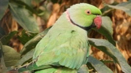 A ring-necked parakeet in Kabul in September 2013