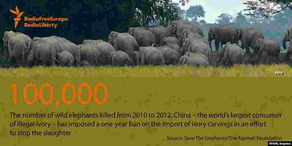 100 тысяч слонов было убито в дикой природе с 2010 по 2012 годы. Китай, являющийся главным рынком сбыта нелегально добытой слоновой кости, недавно ввел запрет на импорт любых изделий из нее - сроком всего на один год.