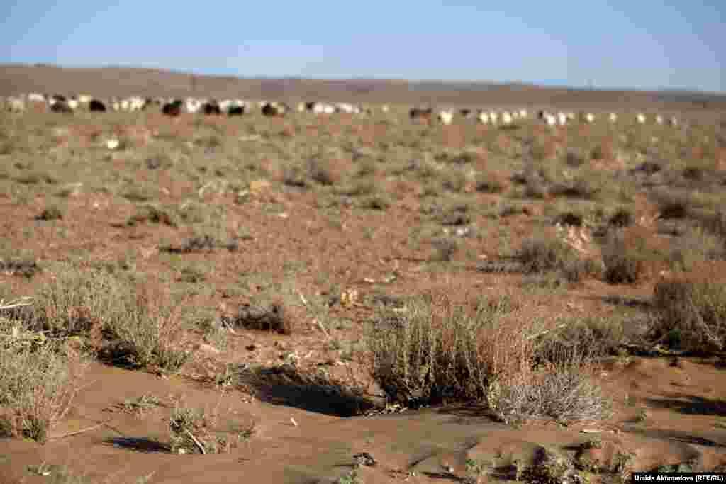 Домашний скот на выпасе близ Зарафшана.